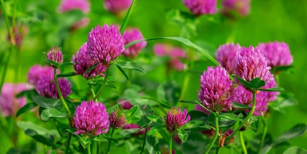 Clover is one of the most versitile edible flowers ()