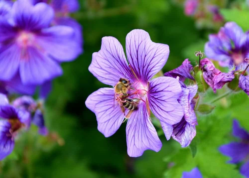Cranesbill is great for those with allergies and bees love it (1)