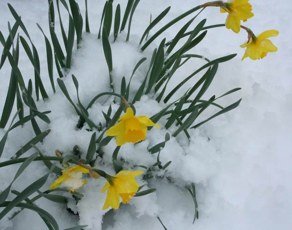 Daffodils are perfect for bees, but don't release much pollen (1)