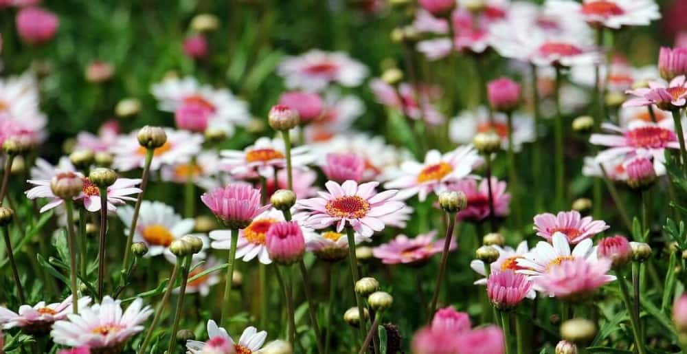 Daisies release pollen that aggravates allergies because each flower has hundreds of little flowers in the center