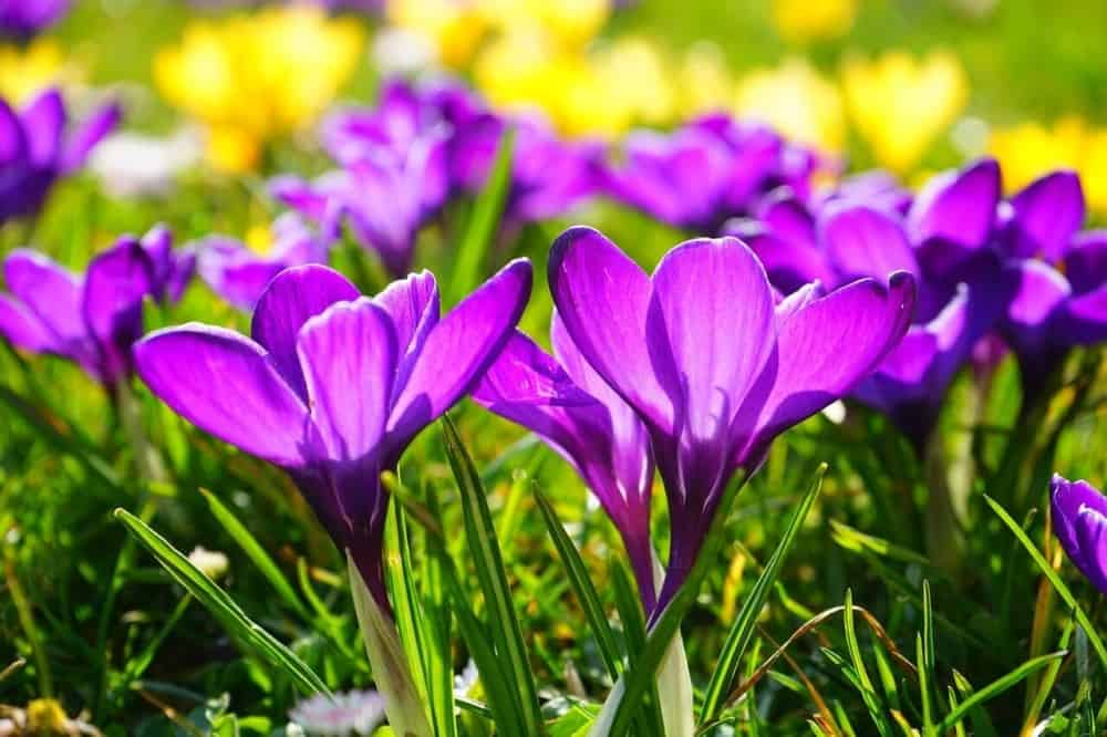 Early crocus provides spring food for bees just out of hibernation (1)