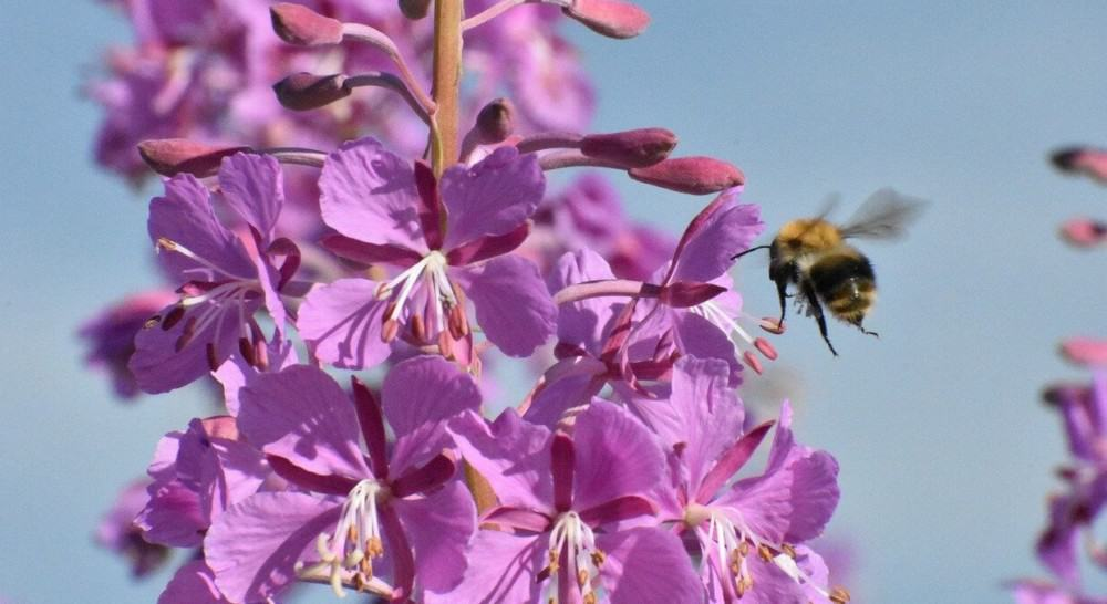 Fireweed is an edible flower (2)