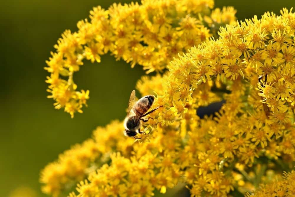 Goldenrod pollen is too heavy to float in the air (1)