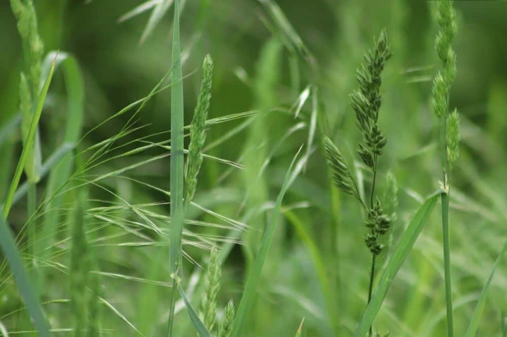 Grass is a major contributor to hay fever (1)