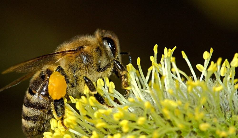 Grow native plant varieties for your local bees (2)