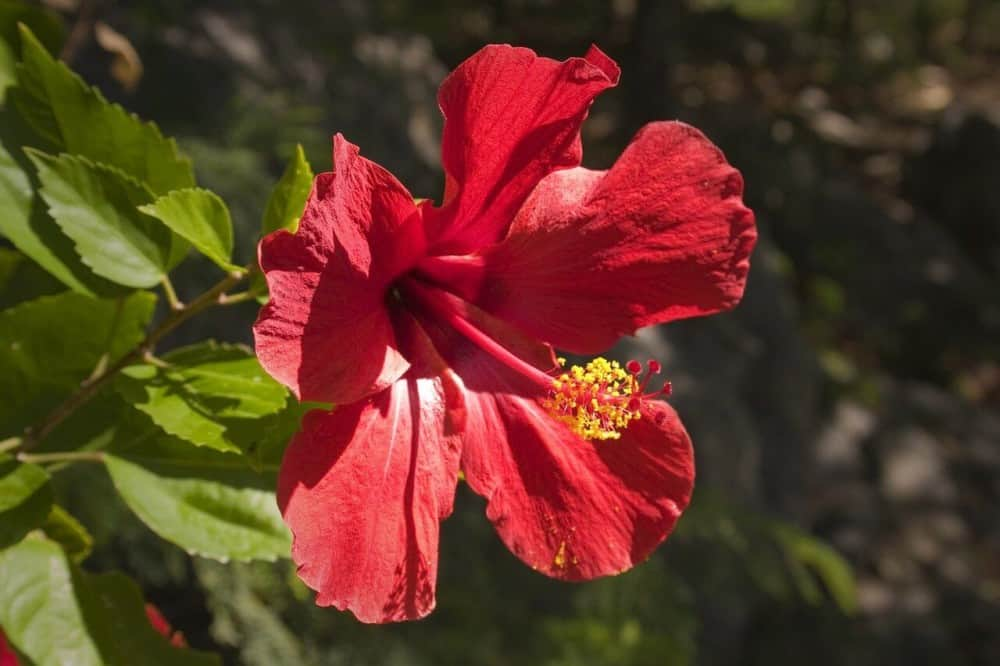Hibiscus Flowers are great allergy sufferers (1)