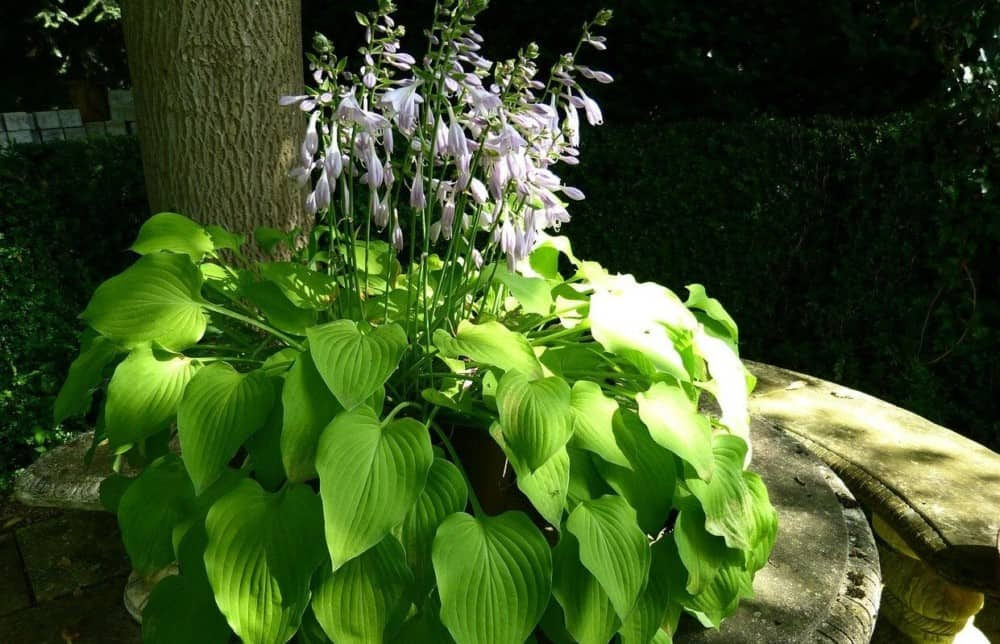 Hostas flowers are great to eat (2)