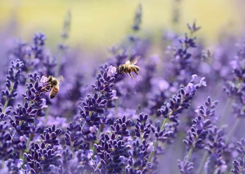 Lavender is great for an allergy free garden and bees (1)