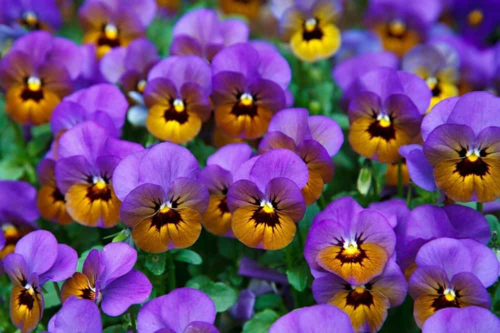 Pansies are great for an allergy free garden and bees (1)