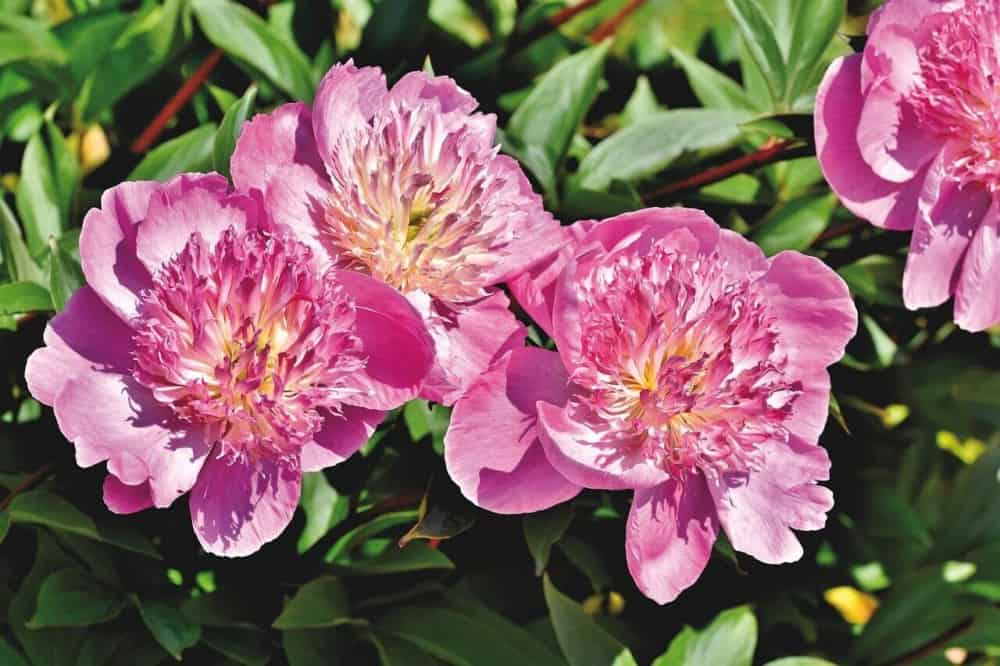 Peonies help those with allergies and feed bees (1)