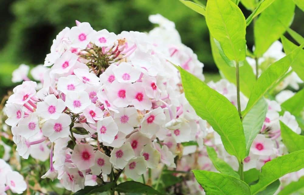 Phlox are favorites of bees and dont' cause allergies (1)
