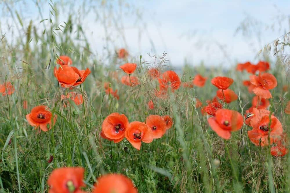 Poppies add a pop of color to allergy free gardens (1)