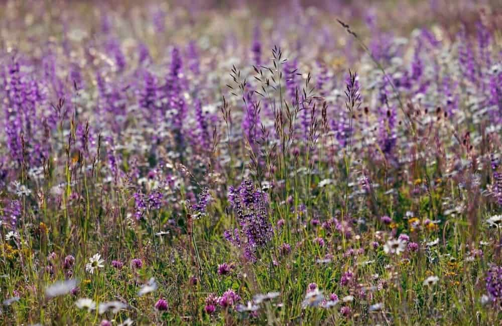 Salvia or sage rarely aggrevates allergies and it provides habitat for bees (1)
