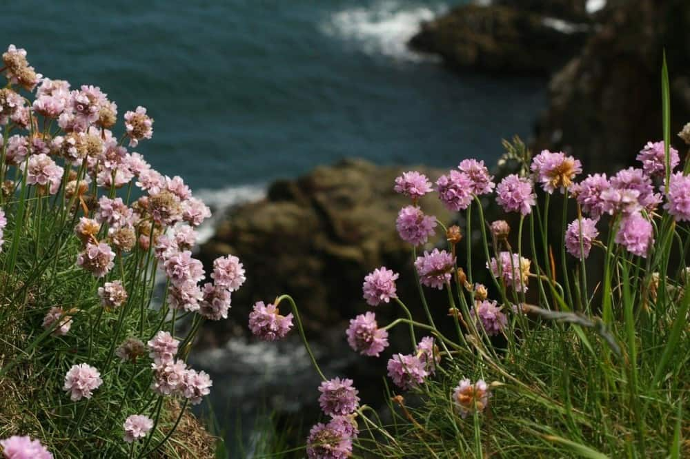 Sea thrift is a great native plant that doesn't cause hay fever (1)