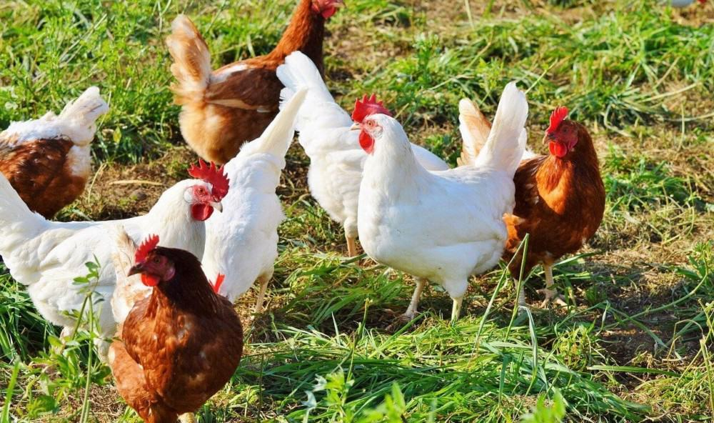 Stop Egg Eating Chickens (2
