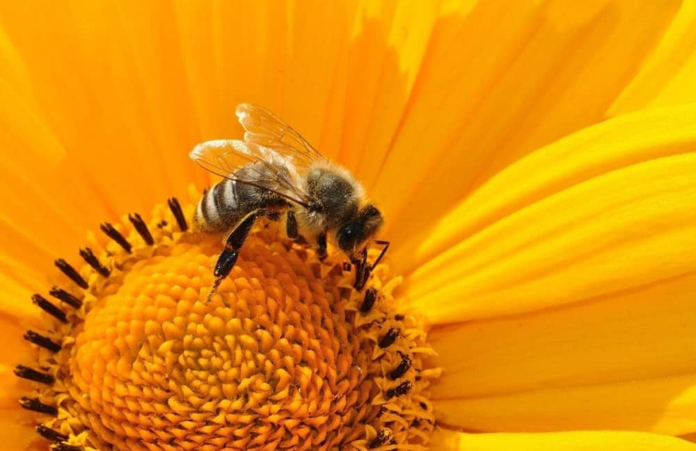 Sunflowers require bees to produce nuts (2)