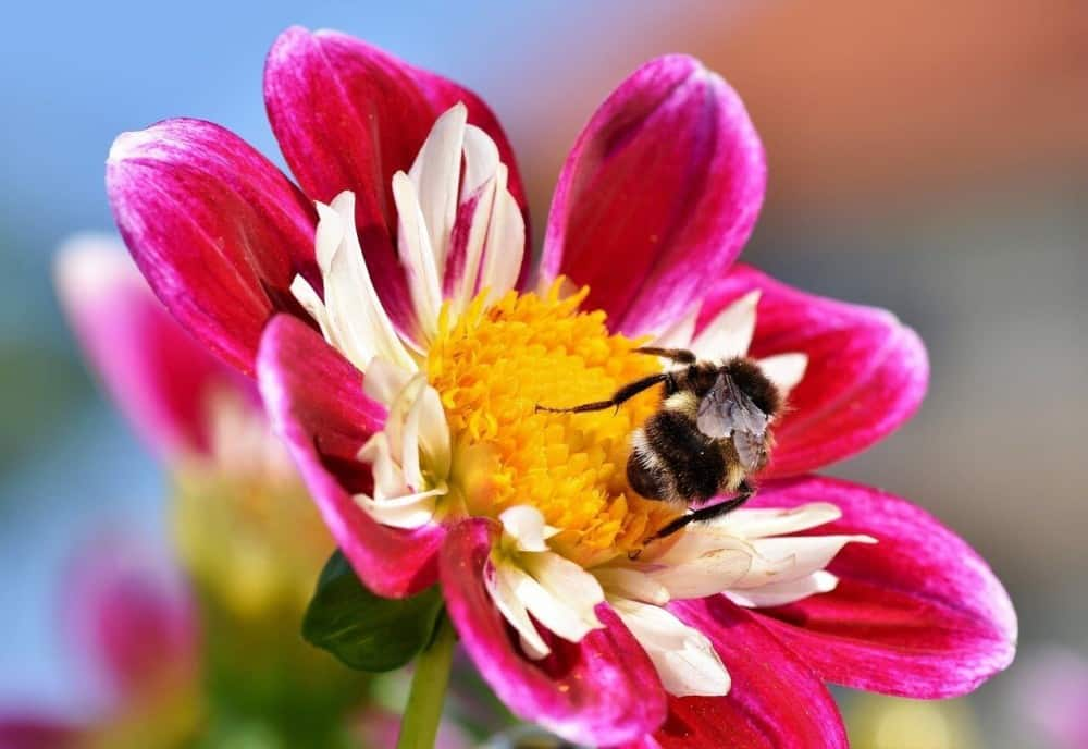 The beautiful zinnia blooms attract bees (1)