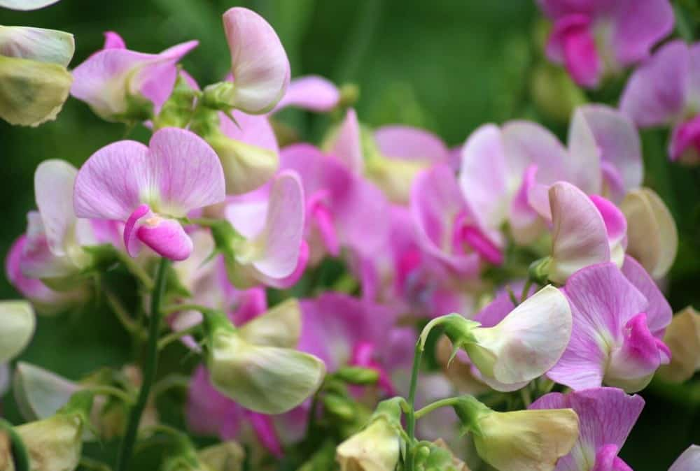 The delicate sweet pea helps bees in the spring (1)