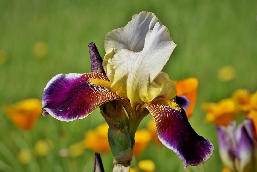 The unique shape of the iris flower keeps the pollen inside (1)