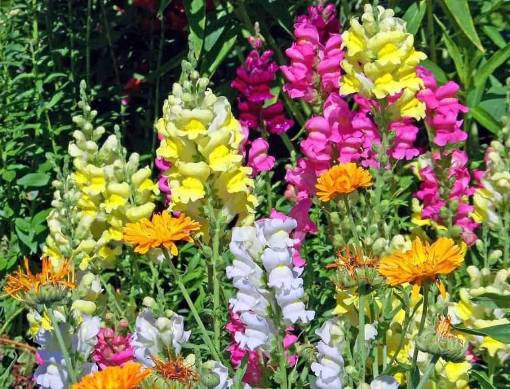 The unique shape of the snapdragon flower holds pollen inside and relies on bees for help (1)