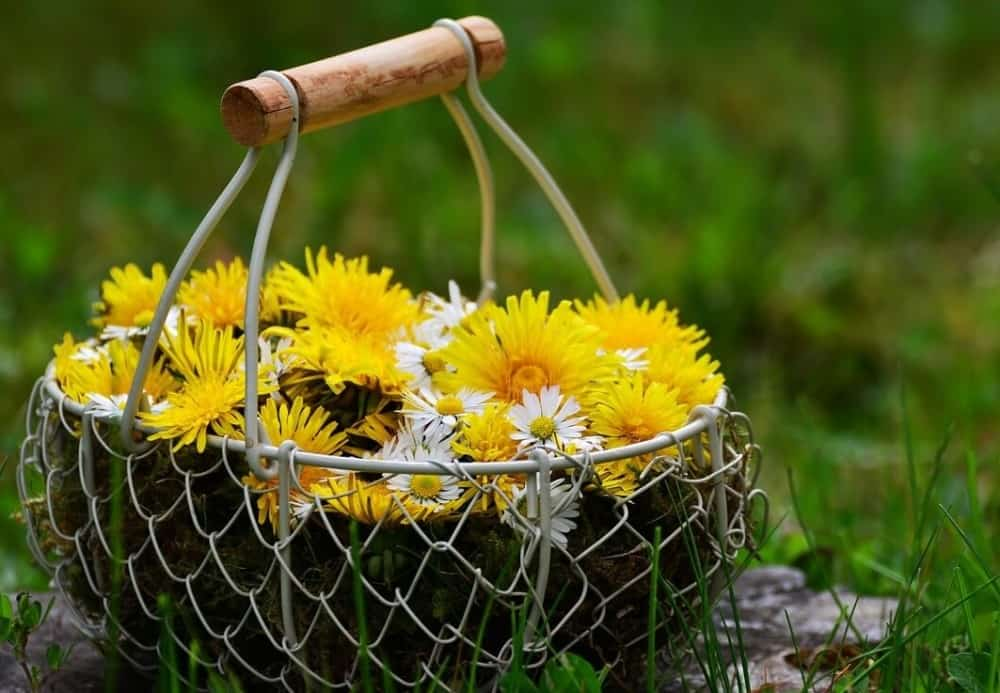dandelions are super healthy to eat (2)