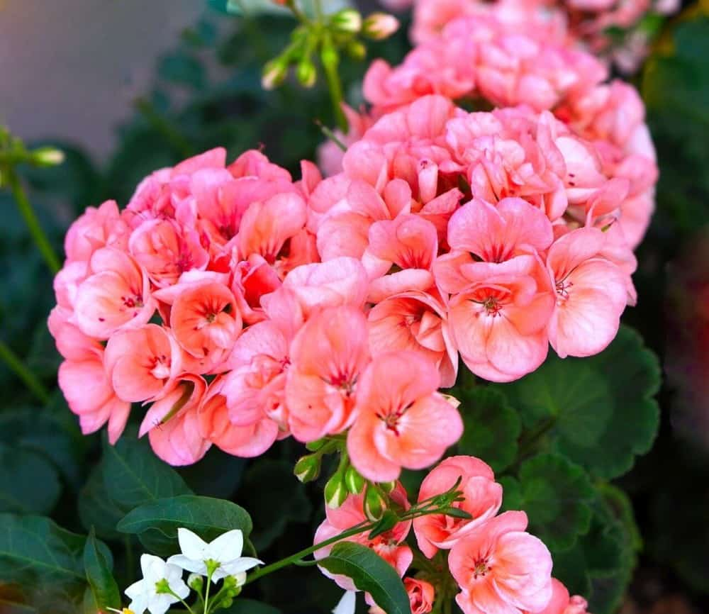 Geraniums are perfect for an allergy free summer (1)