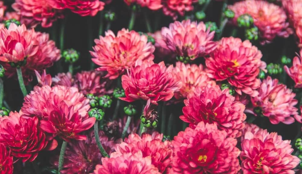 mums are zesty and tangy (2)