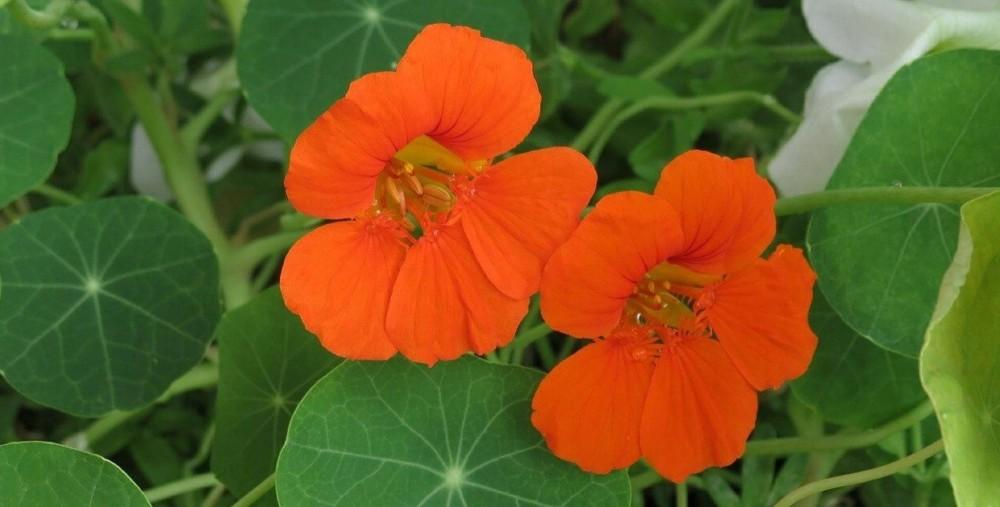 nasturtium petals are edible (2)