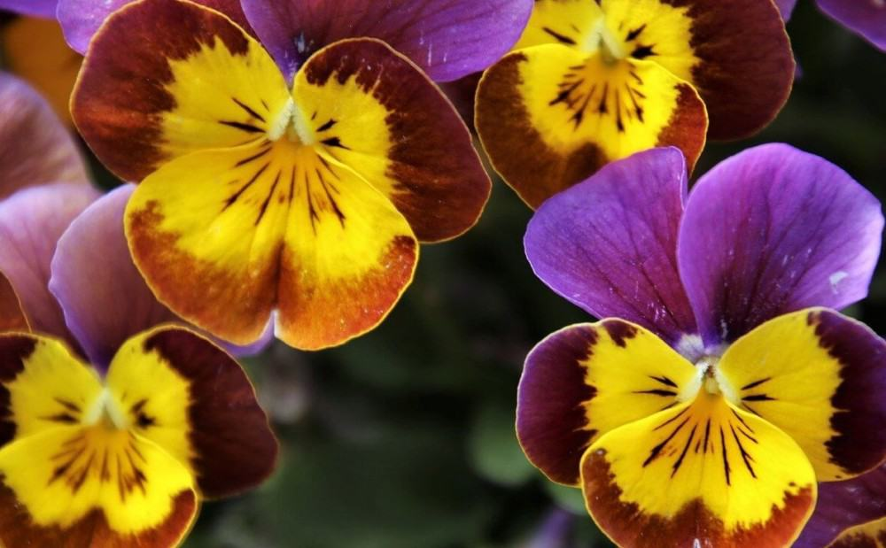 pansies make a great addition to desserts (2)