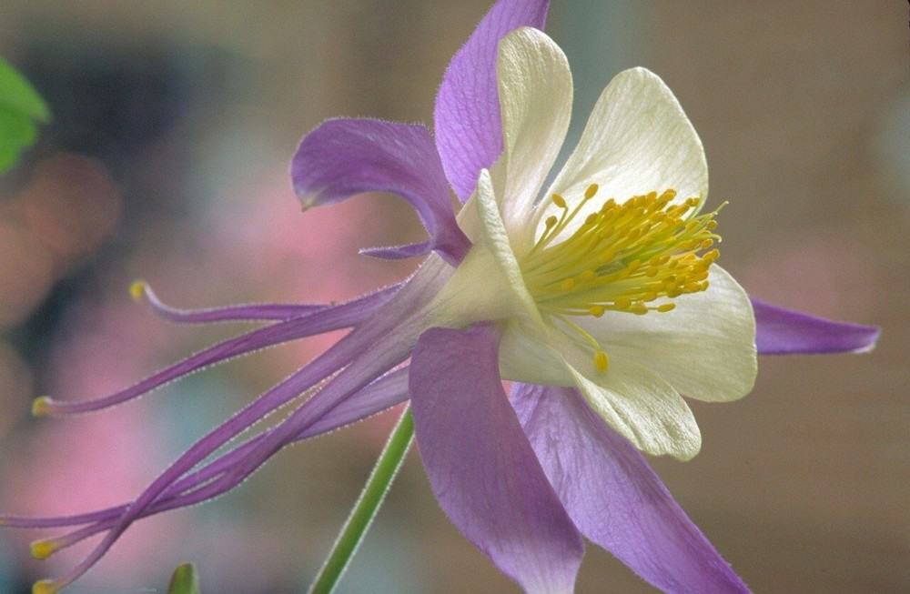 Columbine relies on insects for pollination, not the wind (1)