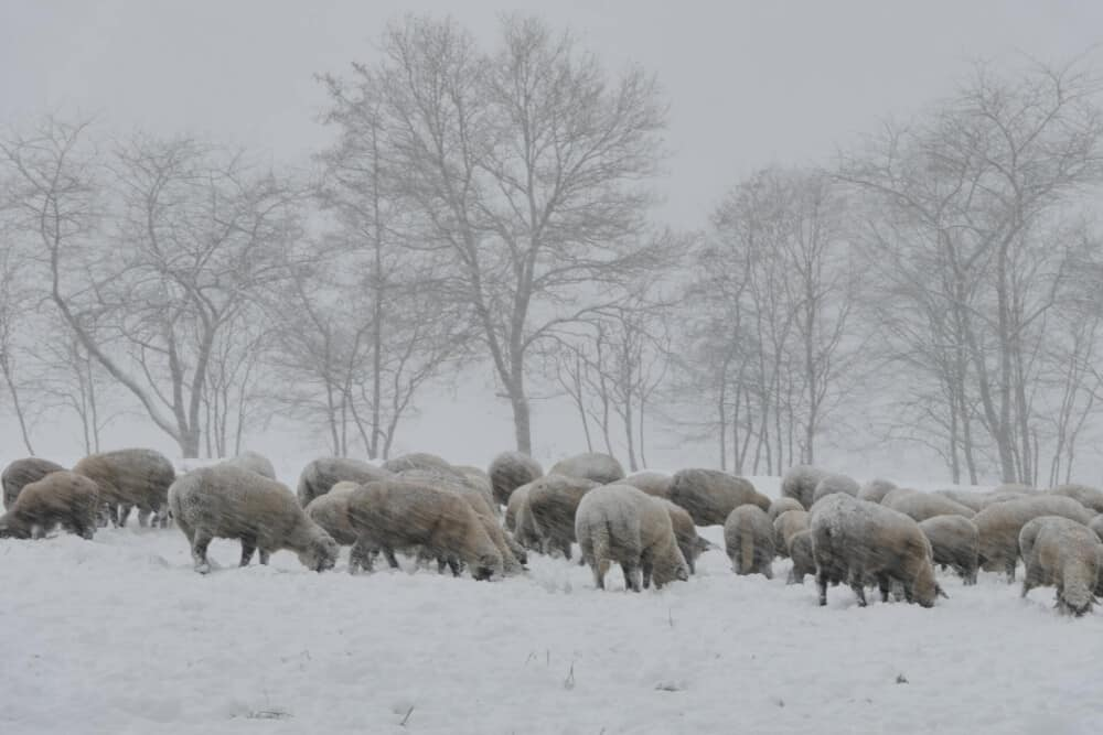 Best Hair Sheep for cold climates (1)