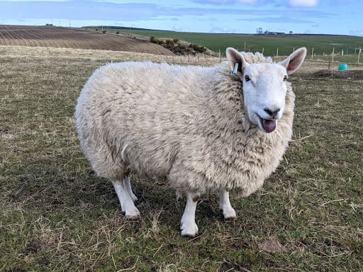 Cheviot Sheep are Very cold hardy (1)