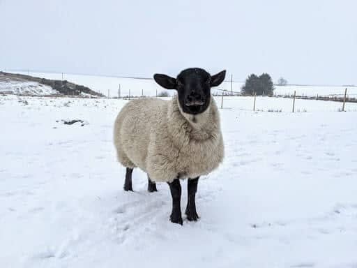 Cold Weather Sheep (1)