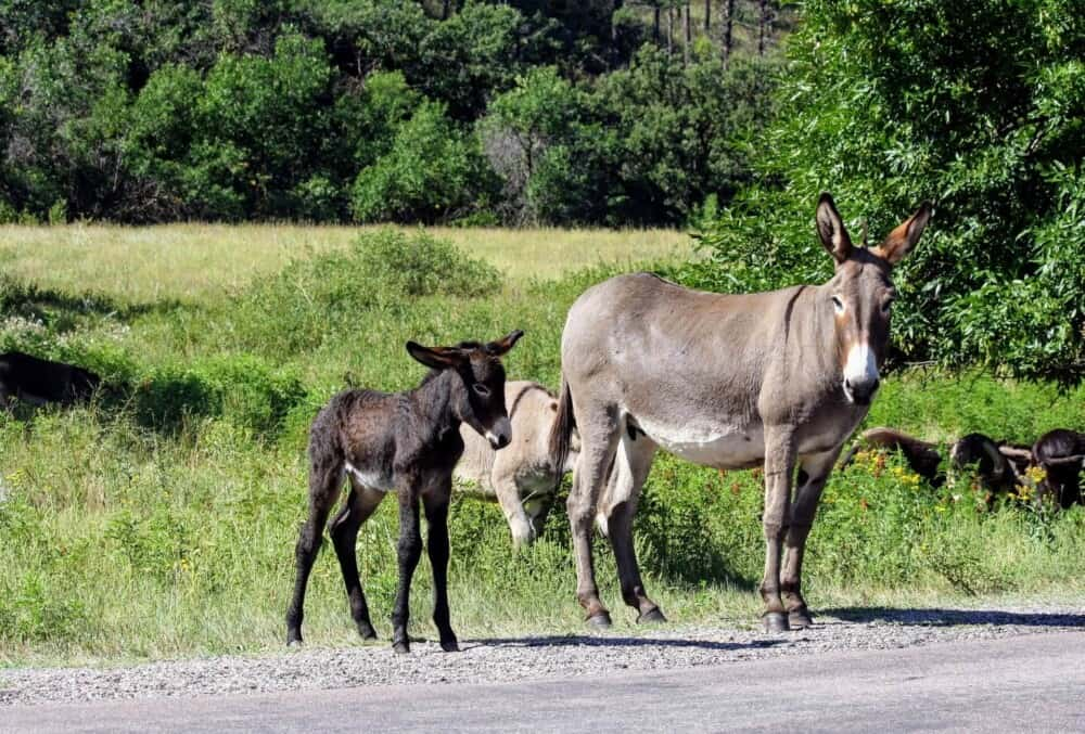 Donkeys can breed much longer than horses (1)