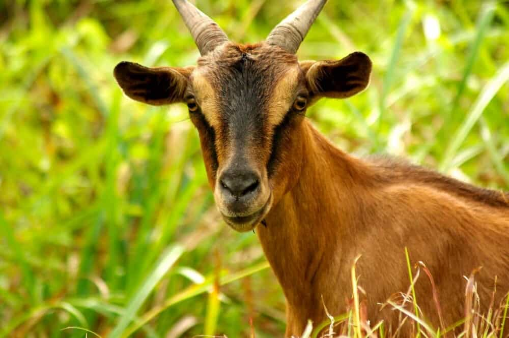 Goats have specific mineral and salt needs (1)