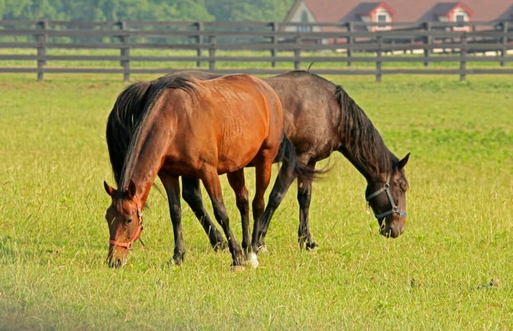 Horses can eat timothy or orchard grass on pasture