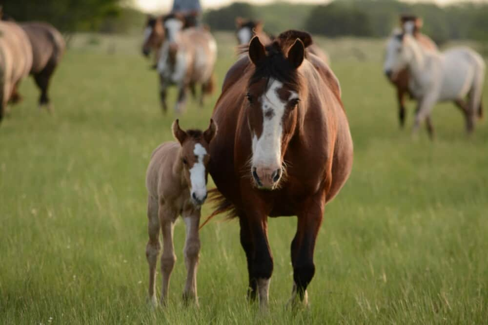 Horses can have 20 foals in a lifetime safely (1)