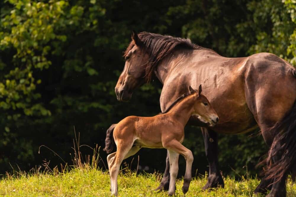 Horses do not have twins without severe medical risk (1)