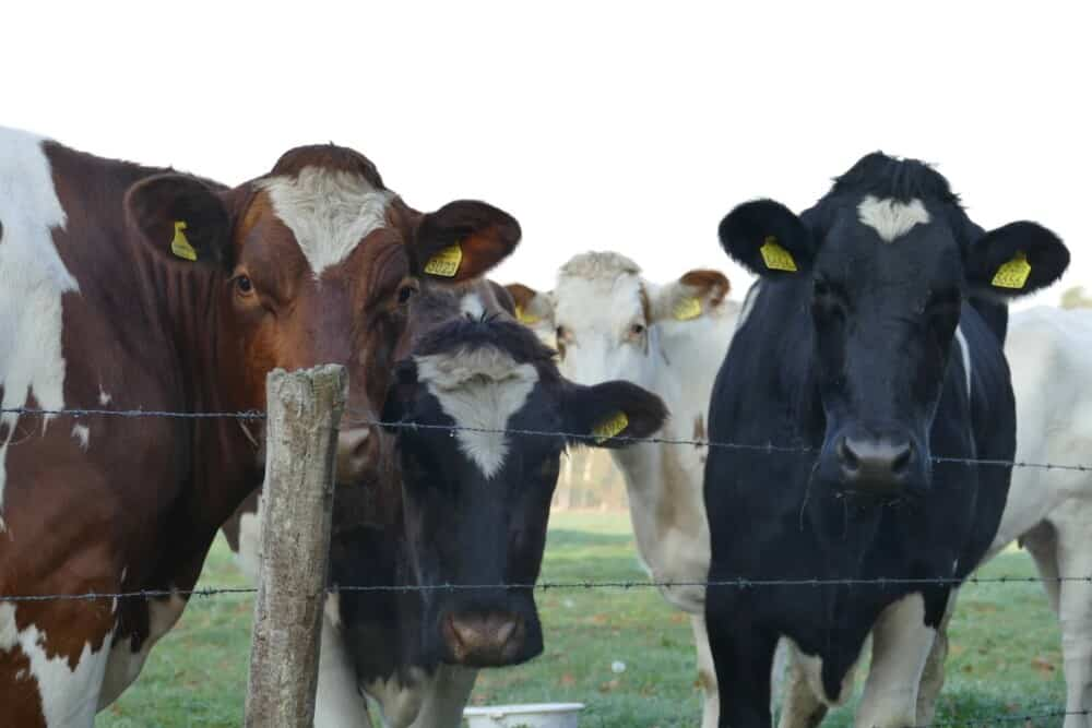 Keep cattle away from standing water where mosquitoes breed (1)