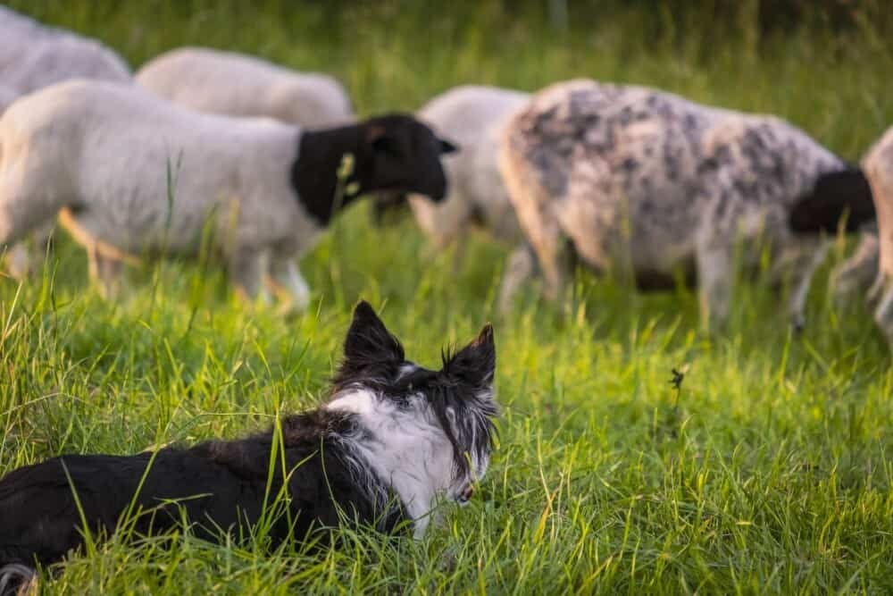 Protect your sheep from dogs (1)