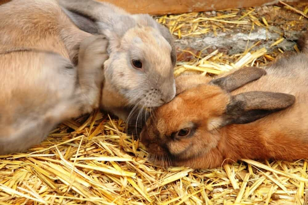 Rabbit reproduction facts (1)