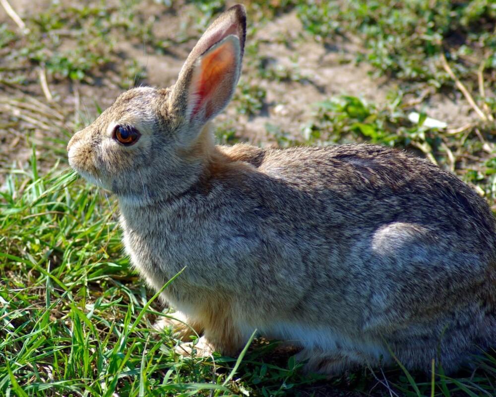 Red eye in Rabbits (1)