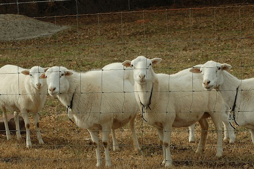 St Croix sheep Thrive in cold weather (1)