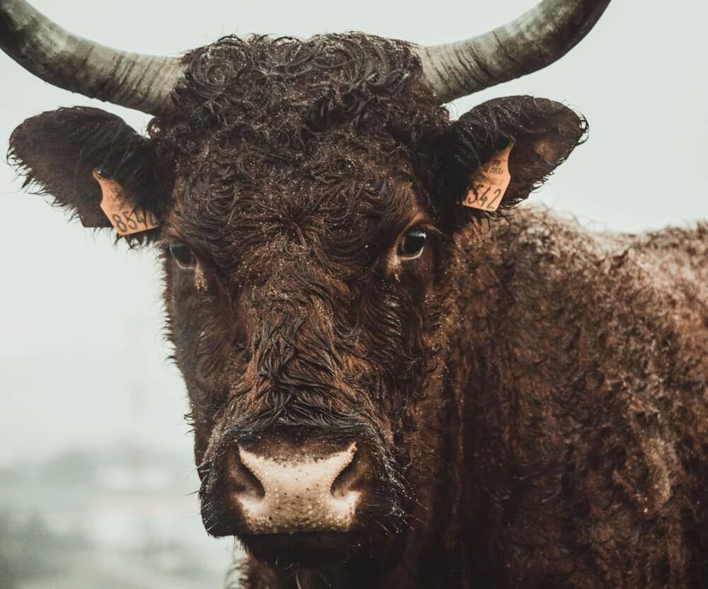 Staggering breeding helps keep bulls verile