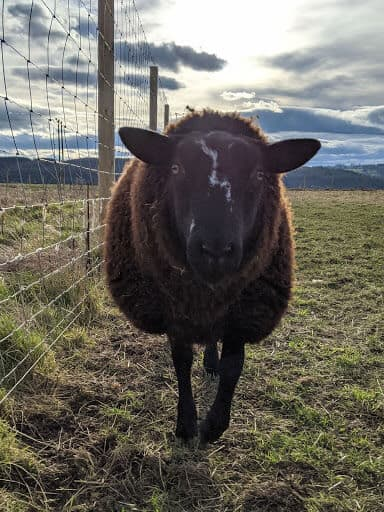 Zartble Sheep Can Withstand very cold temperatures (1)