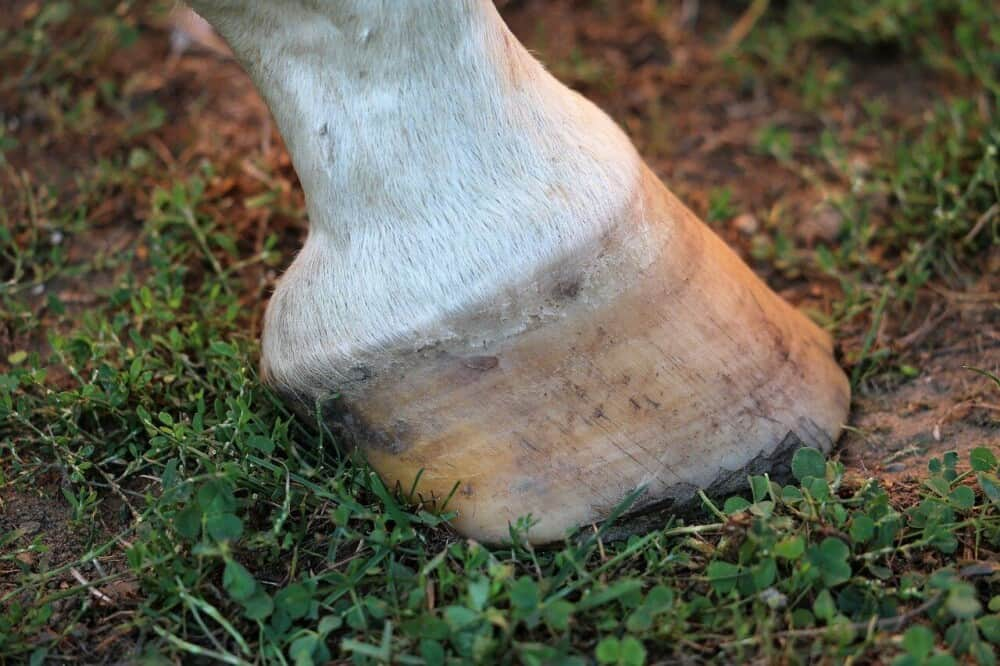 A natural hoof can often have better health (1)