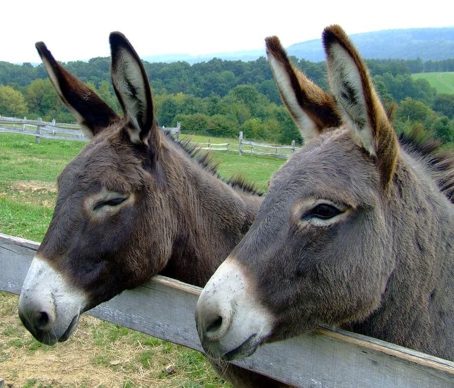 Donkey Behavior (1)