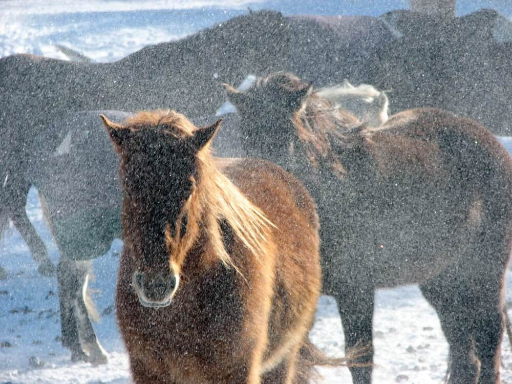Horses fare better in winter than fall (1)