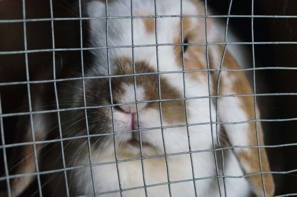 Injured rabbits should be confined to avoid high jumps (1)