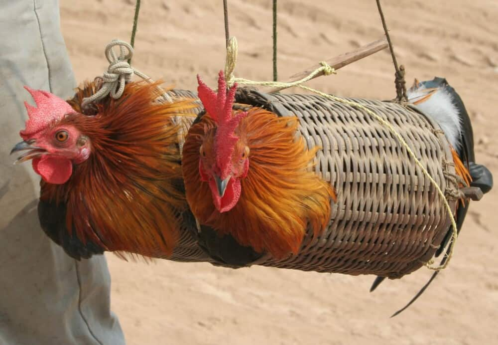 Safely Transport Chickens (1)